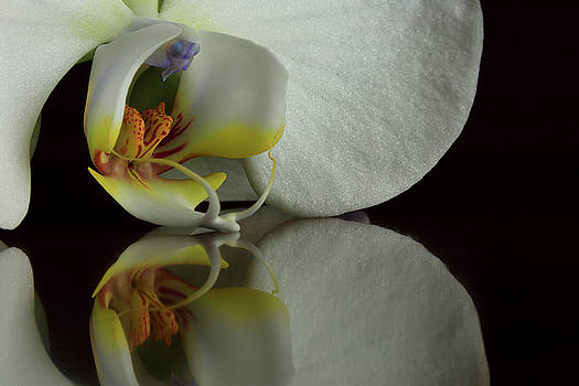 Orchid Reflected by Bob Cournoyer