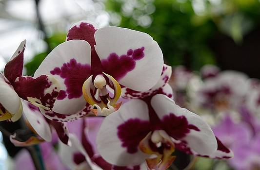 Orchid by Renee Olson