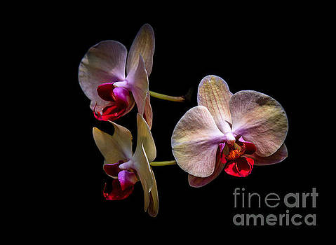 Orchid Trio  by DS Dodd