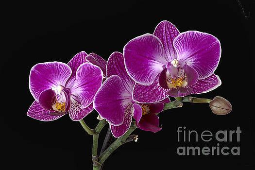 Orchid by Vladimir Sidoropolev