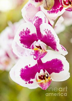Orchid Wings by A New Focus Photography