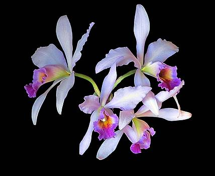 Orchids 1 by David Carvell