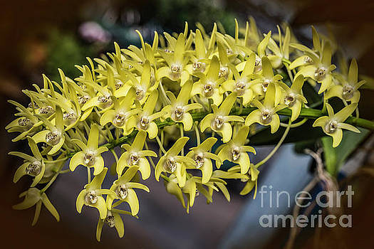 Orchids 2170G by Doug Berry