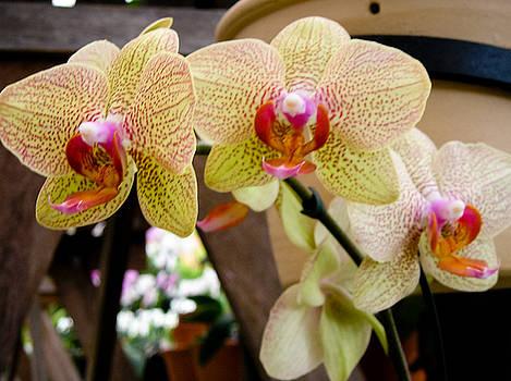 Dora Miller - Orchids 3