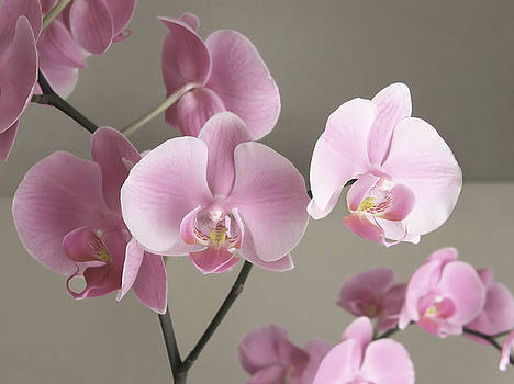 Orchids by Angela Wile