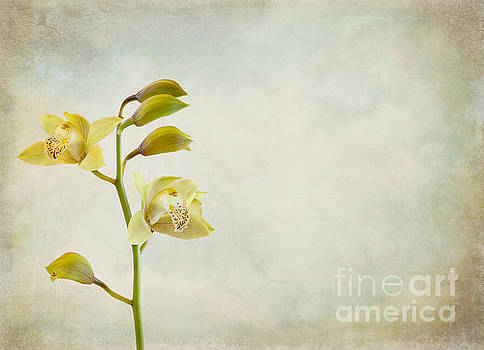 Orchids by Cindy Garber Iverson