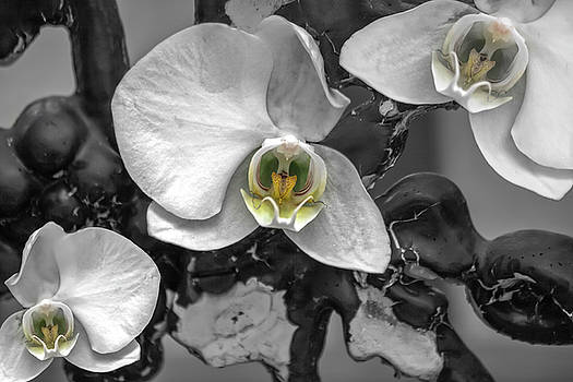 Orchids Elegant Delicate Beauties by Betsy Knapp