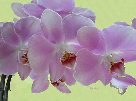 Orchids by Frances  Dillon