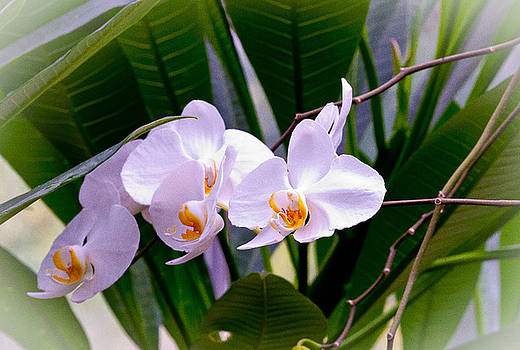 Orchids in a Row by George Lovelace