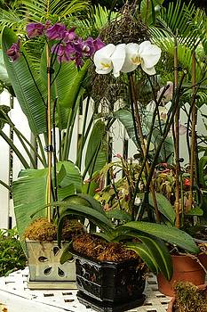 Orchids in Bloom by Maria Suhr
