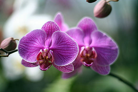 Orchids In Flight by Jack Thomas
