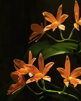 Orchids in Orange by Stephanie Maatta Smith