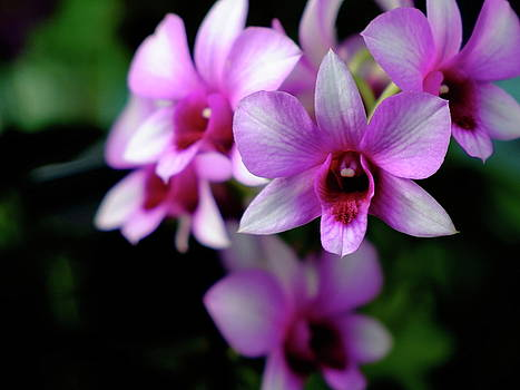 Orchids by Judi Saunders