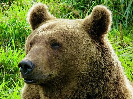 Oregon Bear by Phil Bearce