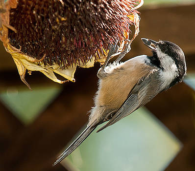 Lara Ellis - Oregon Black Capped Chickadee