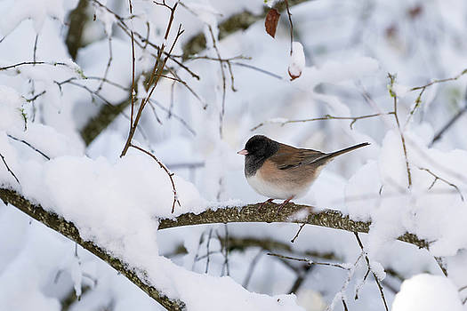 Oregon Junko in Snow by Brian Bonham