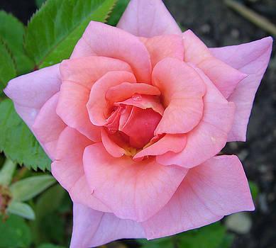 Nick Gustafson - Oregon Rose