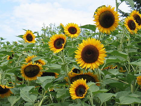 Oregon Sunflowers by K Hoover