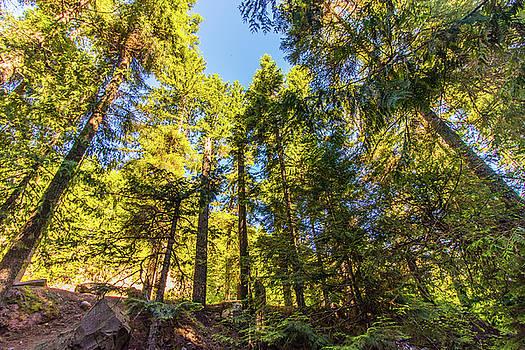Oregon Trees by Jonny D