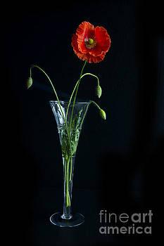 Elena Nosyreva - Oriental Poppy