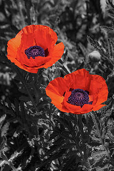 Oriental poppy flowers  by Nick Kurzenko