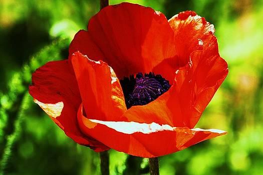 Oriental Poppy No 2 by Russell  Barton
