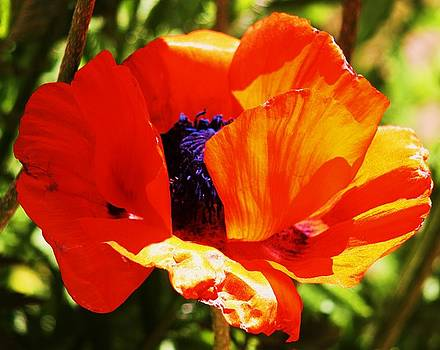 Oriental Poppy Series  No.1 by Russell  Barton