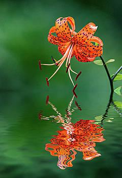 Oriental Tiger Lily - Reflection by Steve Harrington