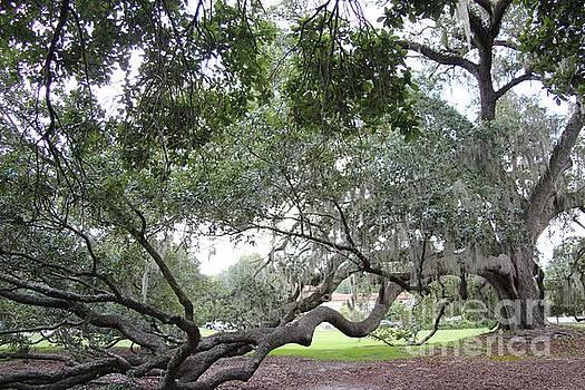 Orlando Oak by Dodie Ulery