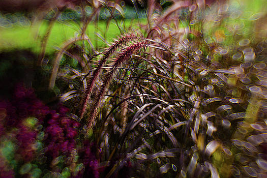 Ornamental Grass and Bokeh by Sharon Wilkinson