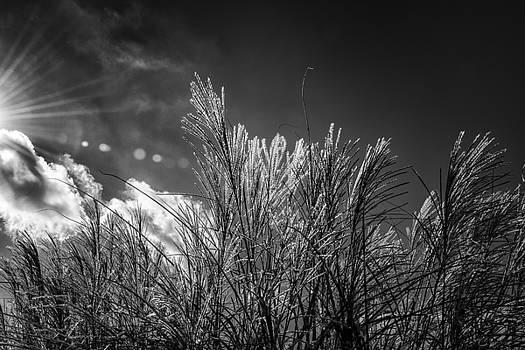 Ornamental Grass in Black and White by Gej Jones