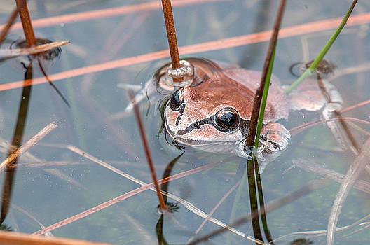 Ornate Chorus Frog by Derek Thornton