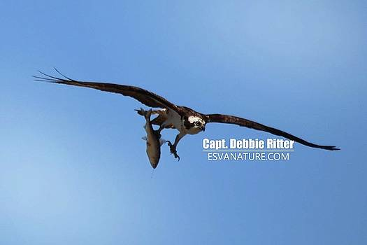 Osprey 1351 by Captain Debbie Ritter