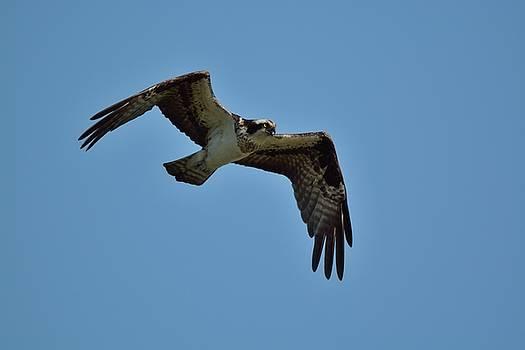 Osprey by David Porteus