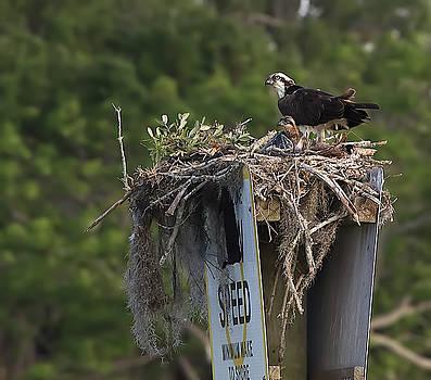 Osprey and Chicks in Nest by Richard Goldman