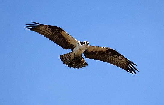 Annie Babineau - osprey