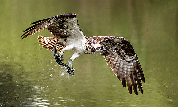 Osprey At Lunchtime by Wes and Dotty Weber