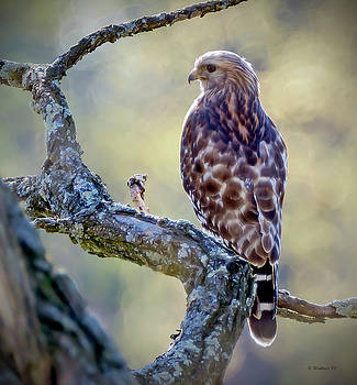 Leucistic Red-shouldered Hawk 1 by Brian Wallace