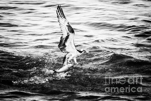 Osprey Catch by Michael McStamp