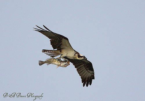Barbara Bowen - Osprey catches a fish