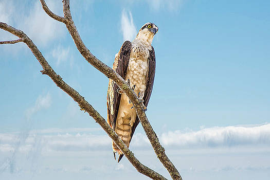 Osprey by Donnie Smith