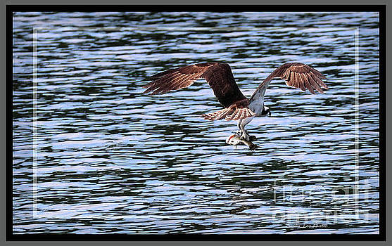 Sandra Huston - Osprey Fishing, Framed