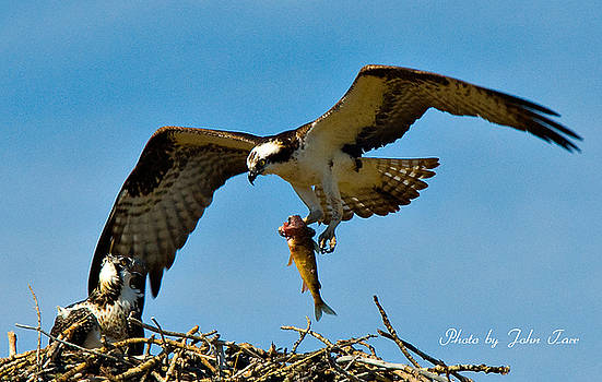 John Tarr Photography  Visual Adventurer - Osprey Hovering With Fish for Baby