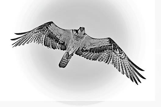 Osprey - I Am Watching You bw by Steve Harrington