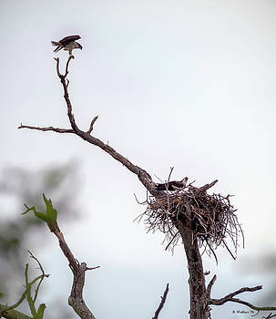 Osprey In A Tree by Brian Wallace