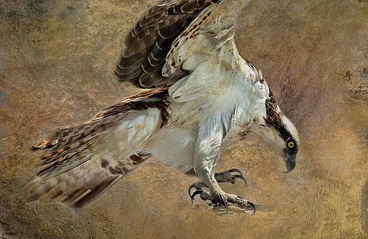 Osprey in Action by Lee Fortier