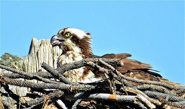 Osprey in Bend Oregon by Kathy Kelly