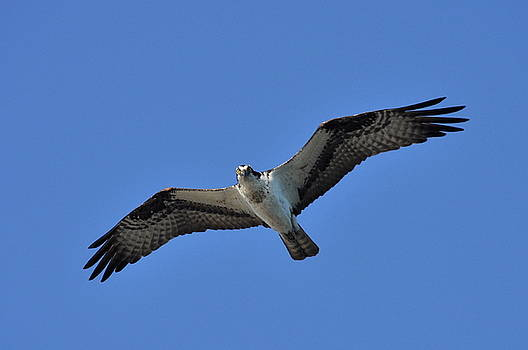 Osprey in Flight 2 by Gerald Hiam