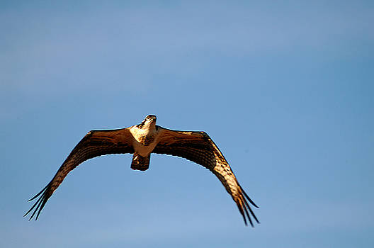 Clayton Bruster - Osprey In Flight