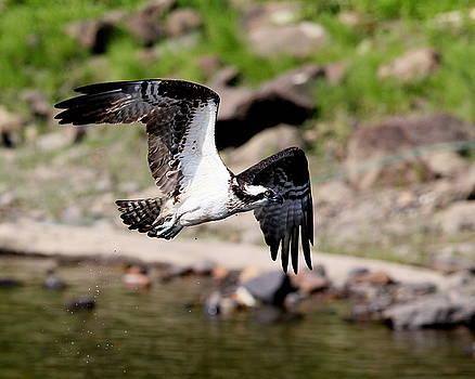 Osprey in flight by Henry Gray